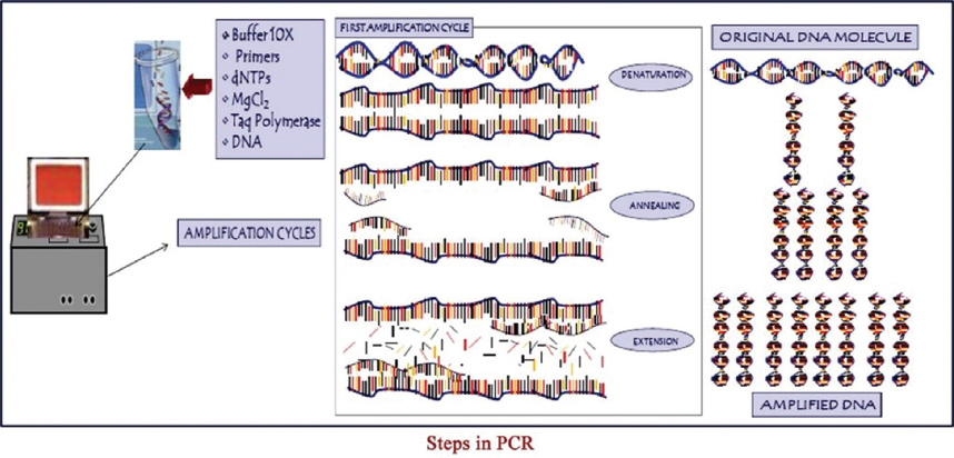 Figure 3: Steps in polymerase chain reaction