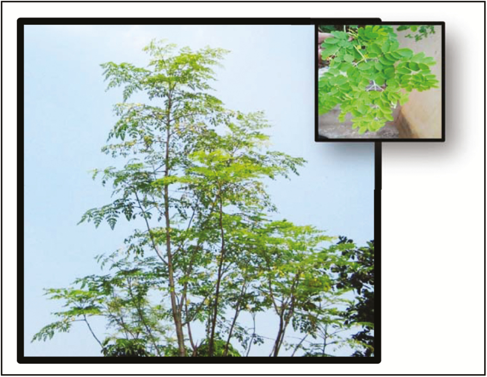 Figure 1: &#8220;Miracle tree&#8221; <i>Moringa oleifera</i>