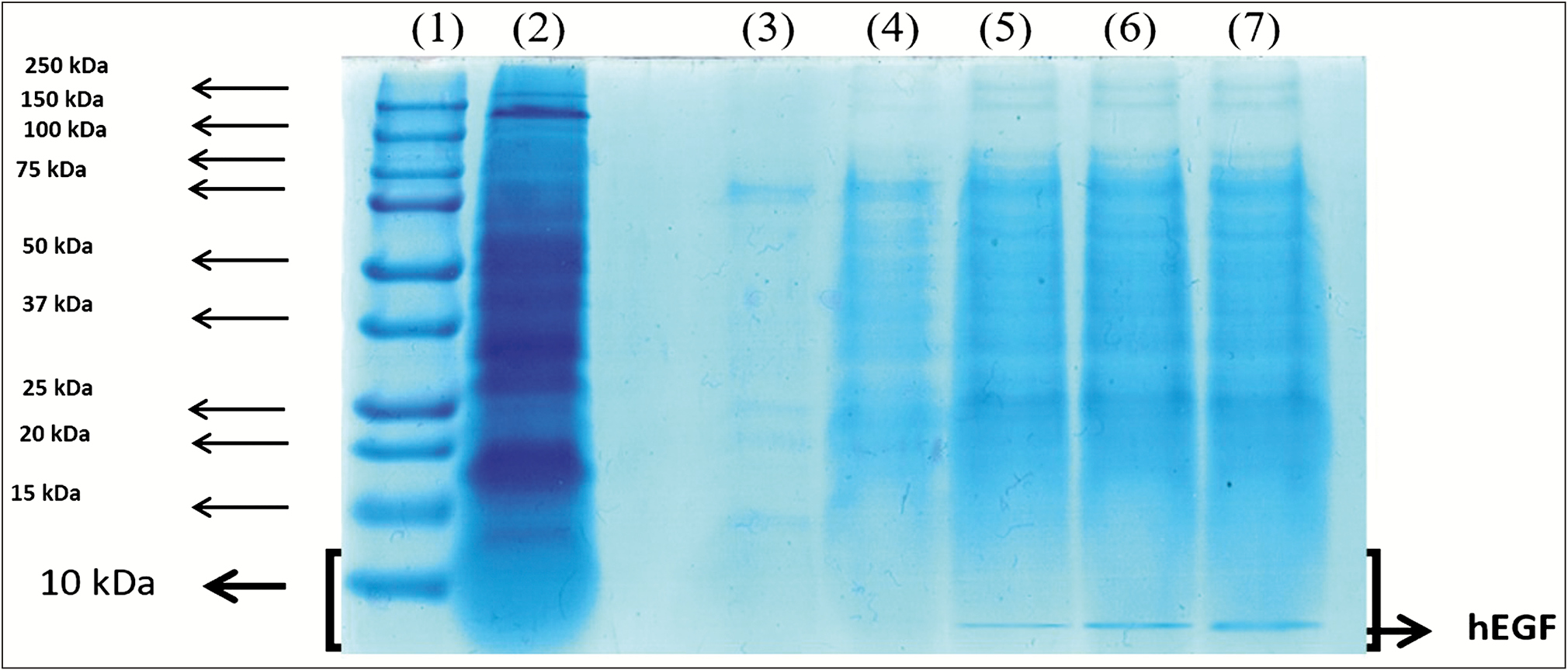 Figure 3: SDS-PAGE Tricin electrophoregram of rhEGF expression from the medium in fermenter scale: (1) Marker, (2) The soluble fraction 8h after induction, (3) Medium fraction at induction, (4) medium fraction 8h after induction, (5,6,7) Medium fraction 20h after initiation